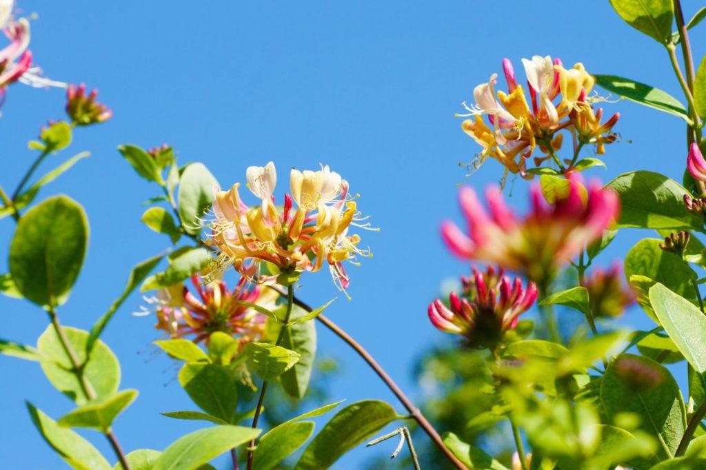 Geißblatt mit wunderschönen Blüten