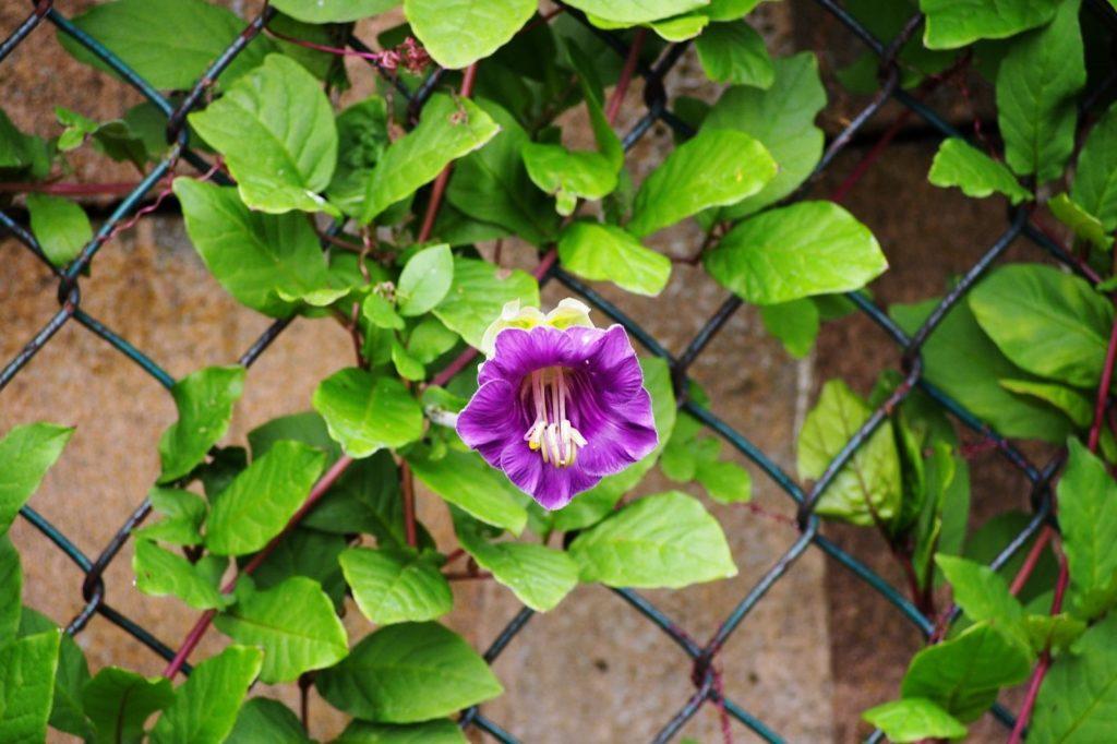 Glockenrebe mit violetter Blüte klettert an Zaun empor