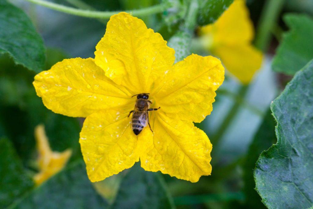 Biene auf Gurkenblüte