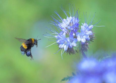 Hummel Trägt Blauen Blütenstaub Umher