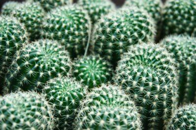 Kakteen düngen: Die perfekte Düngung für den Kaktus