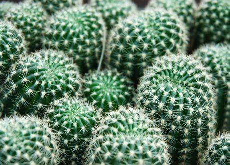 Grüne Kakteen