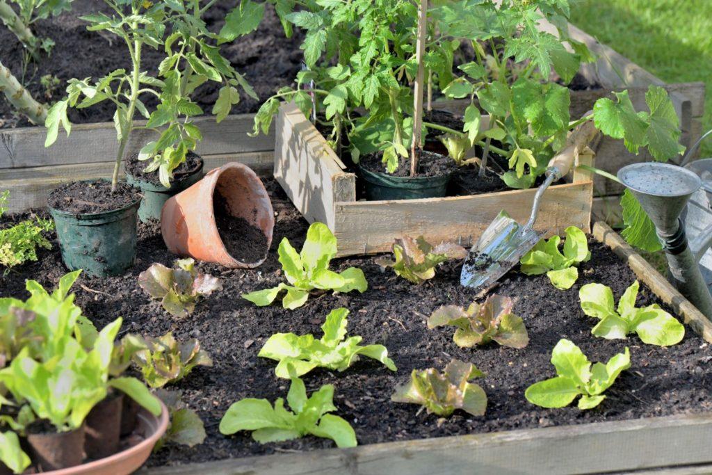 Mischkultur mit Tomaten- und Salatpflanzen