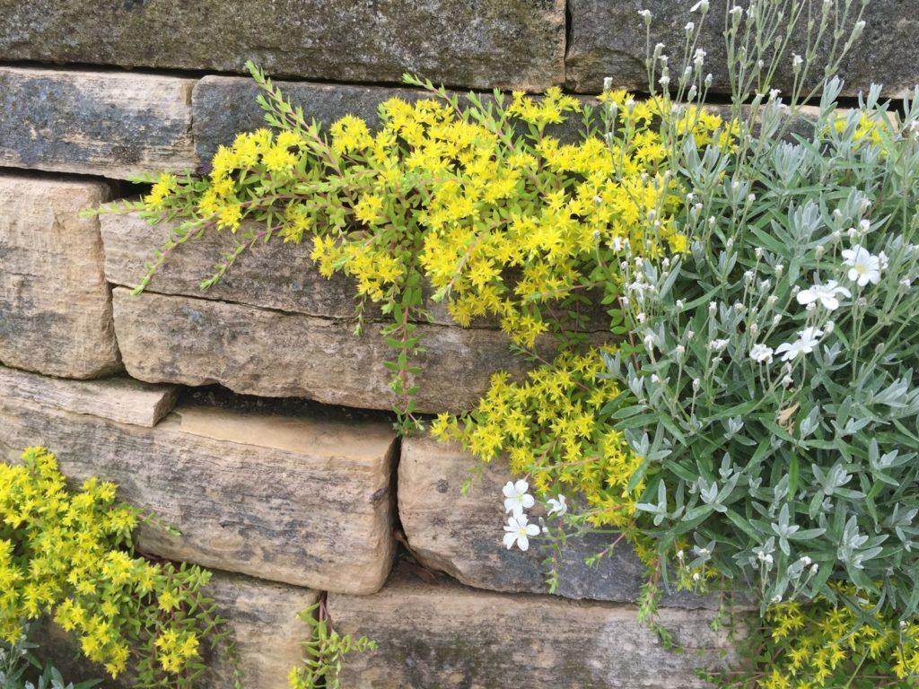 Mauerpfeffer wächst in einer Trockenmauer
