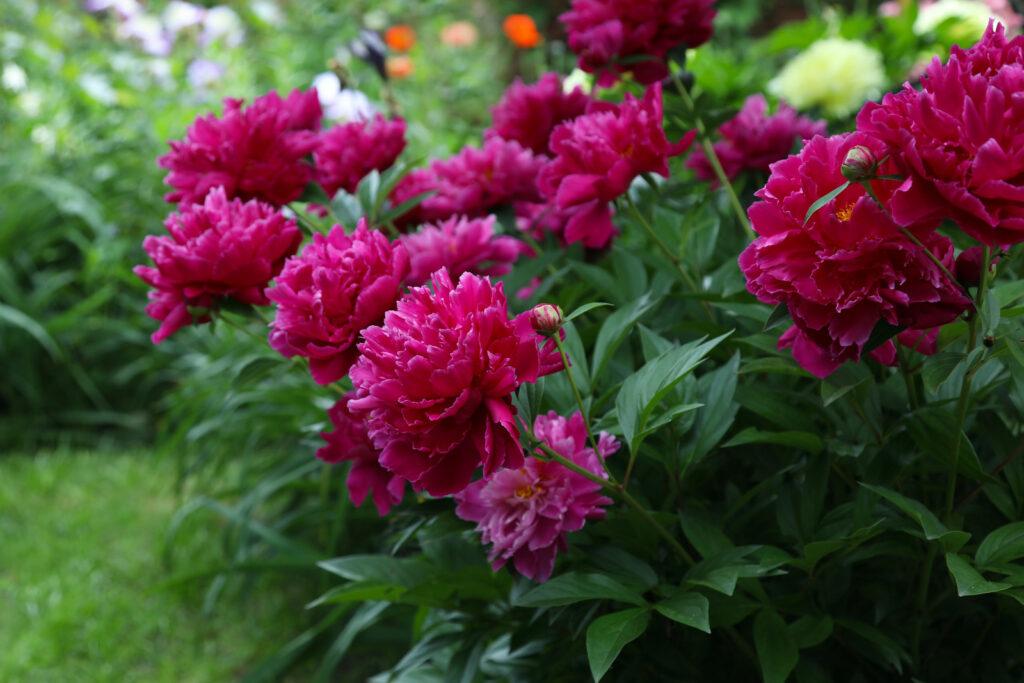 Blühende Pfingstrosen im Garten