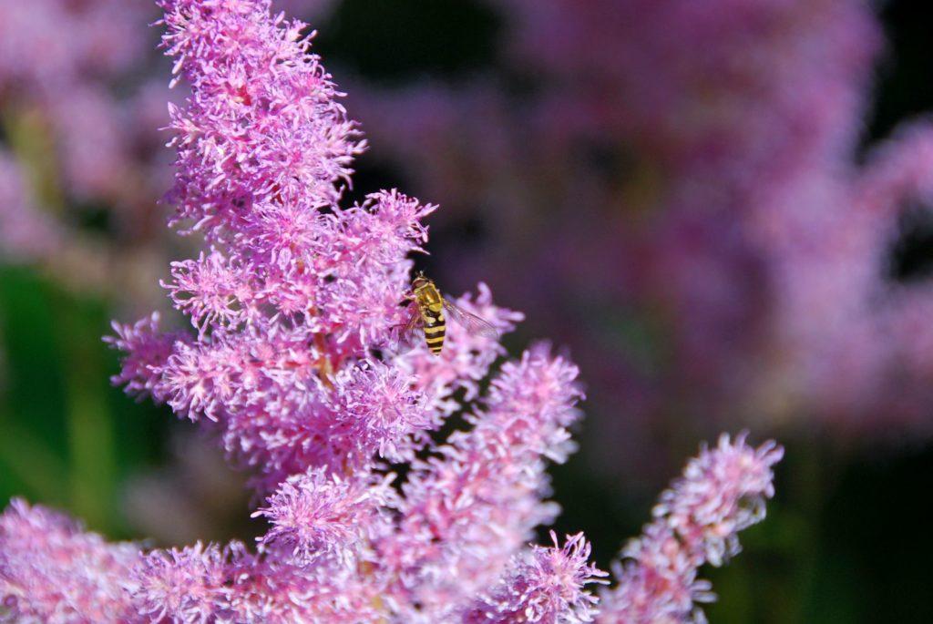 Bienen sitzt auf Blüten der Prachtspiere