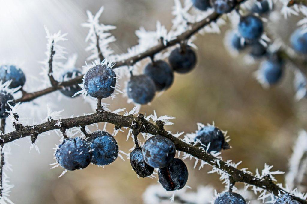 Vom Frost überzogene Beeren des Schlehdorns