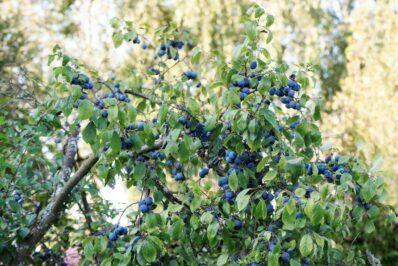 Schlehen: Anpflanzen, Vermehren & Schneiden von Schwarzdorn