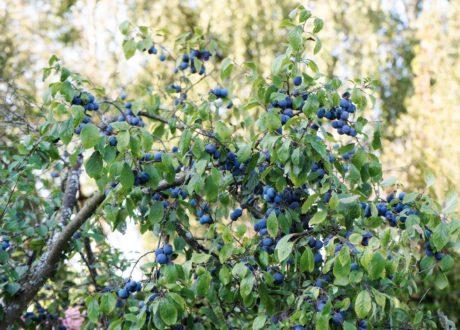Schwarzdornstrauch Mit Früchten