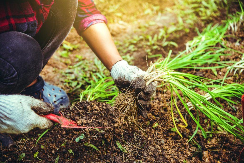 Schnittknoblauch anpflanzen