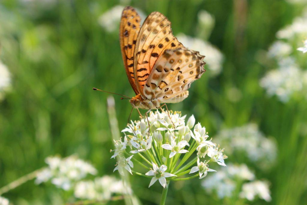 Schmetterling auf blühendem Schnittknoblauch