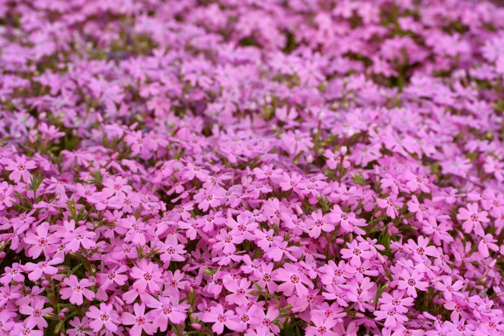 Pinke Teppich-Phlox-Blüten