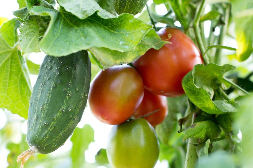 Ungünstige Mischkultur aus Tomate und Gurke