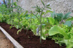 Tomaten Und Salat Zusammen In Einem Beet