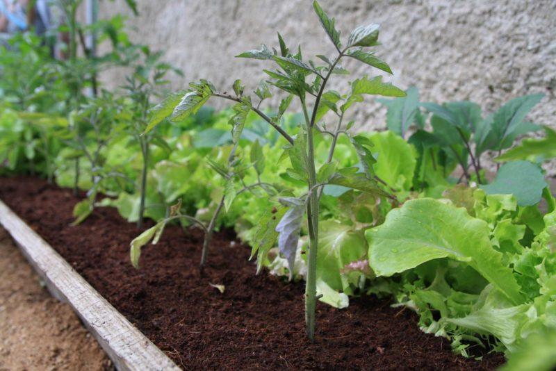 Mischkultur bei Tomaten: Mit diesen Nachbarn vertragen sie sich