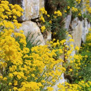 Trockenmauer Mit Gelben Blüten