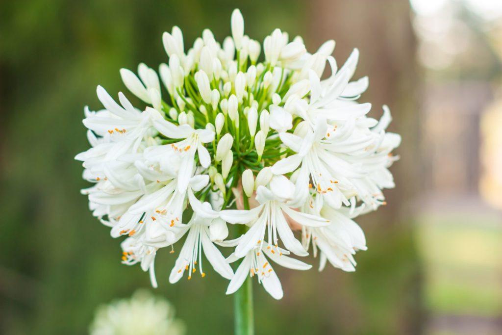 Weiße Agapanthus-Blüte