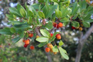 Westlicher Erdbeerbaum Mit Früchten