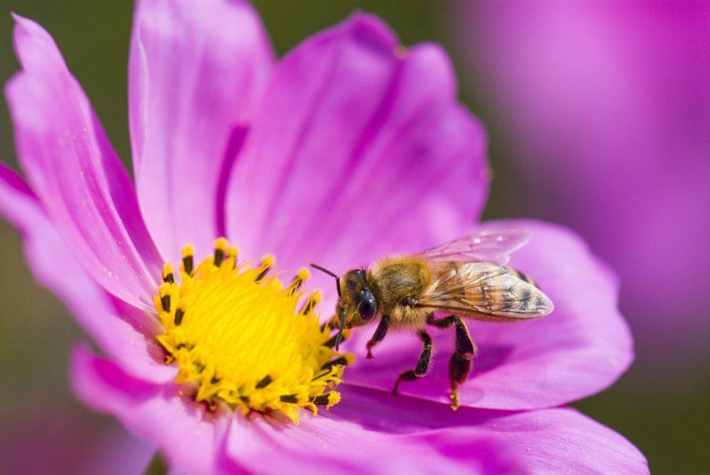 Biene bestäubt Blütte