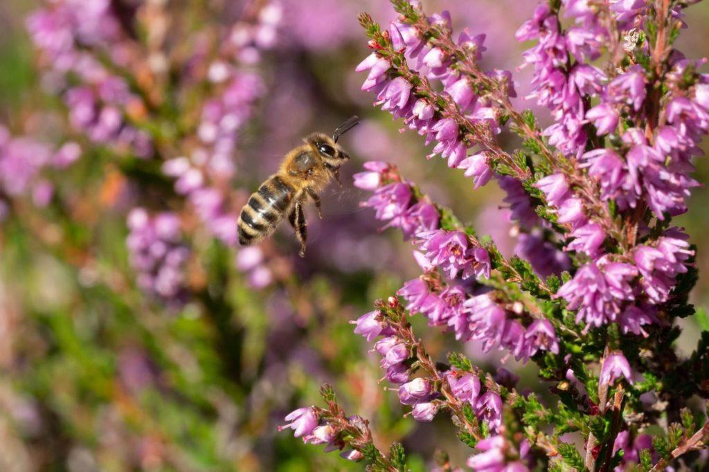 Biene an Erikablüten