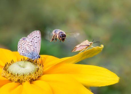 Schmetterling Und Biene Auf Gelber Blüte
