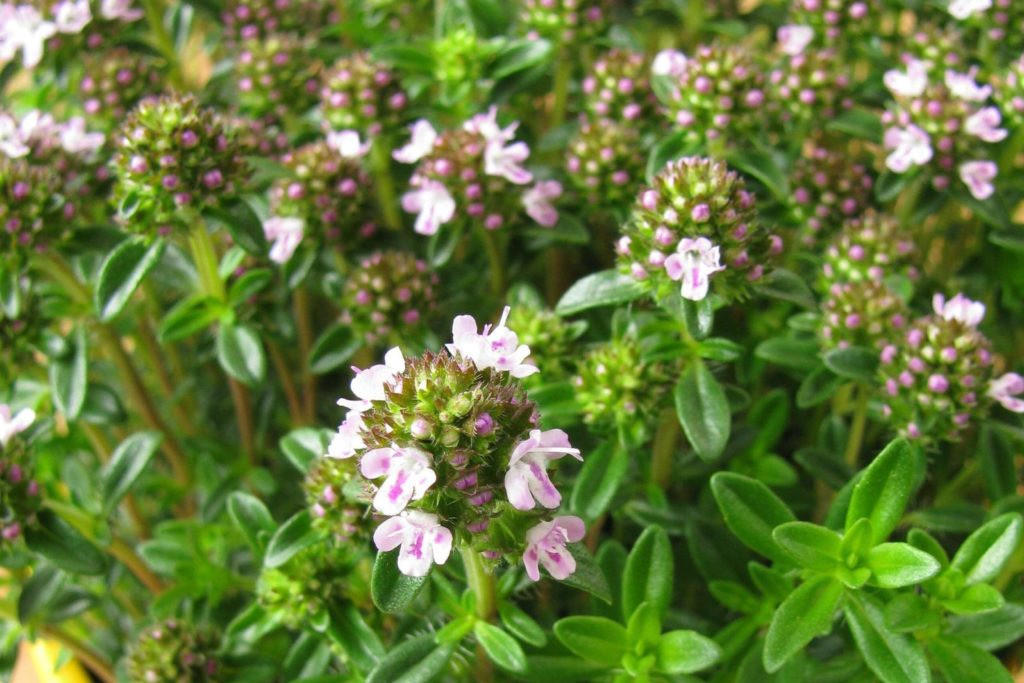 Blüte des Bohnenkrautes