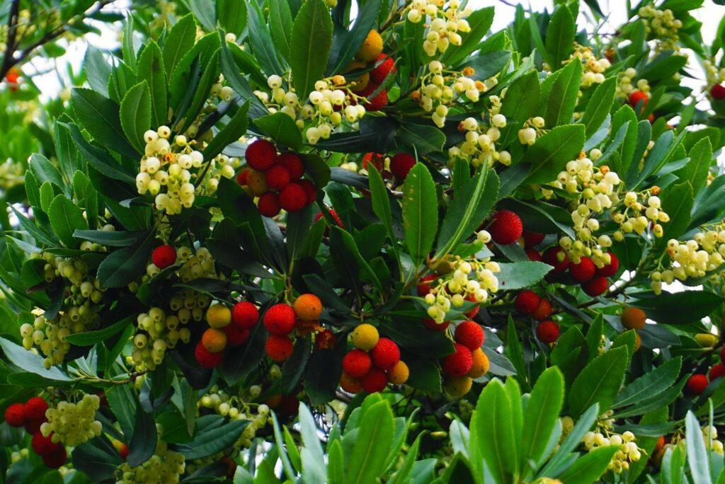 Erdbeerbaum mit Früchten und Blüten