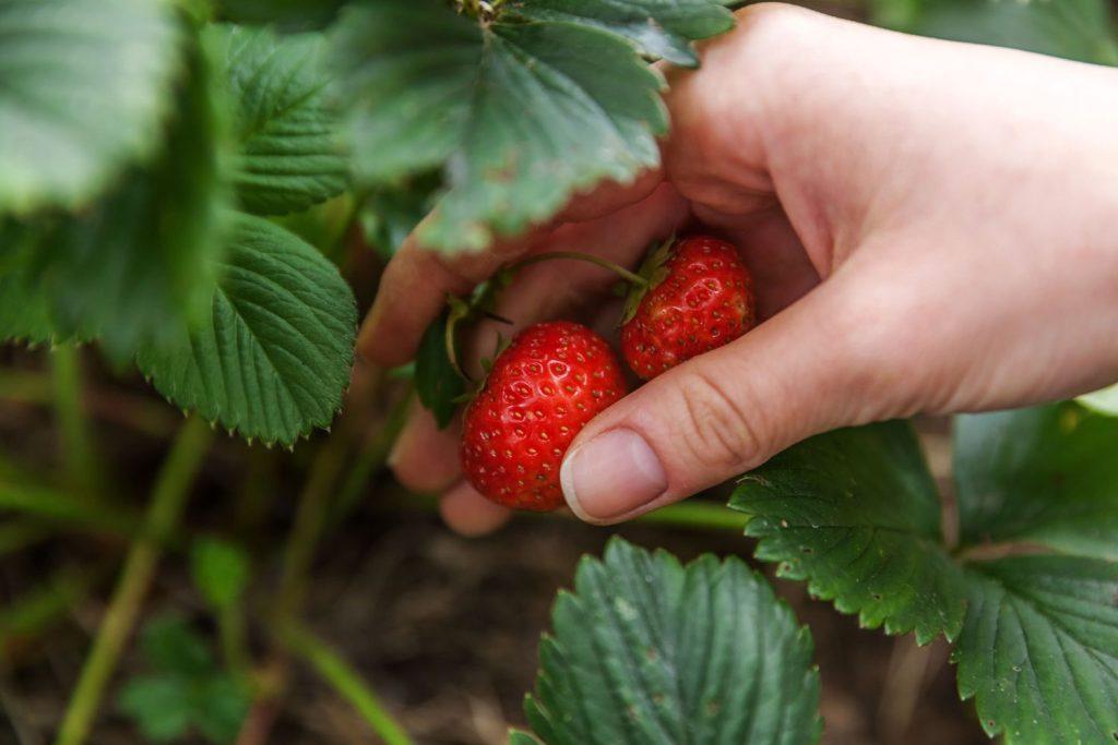 Erdbeeren in Beet werden gepflückt