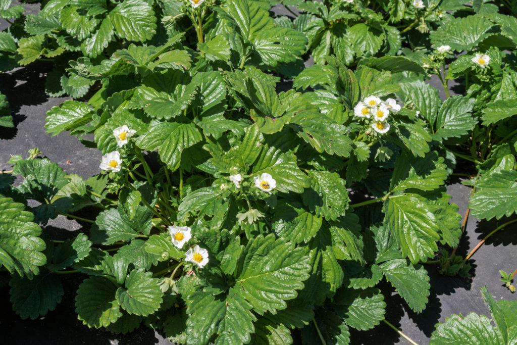 Erdbeeren mit Folie abgedeckt