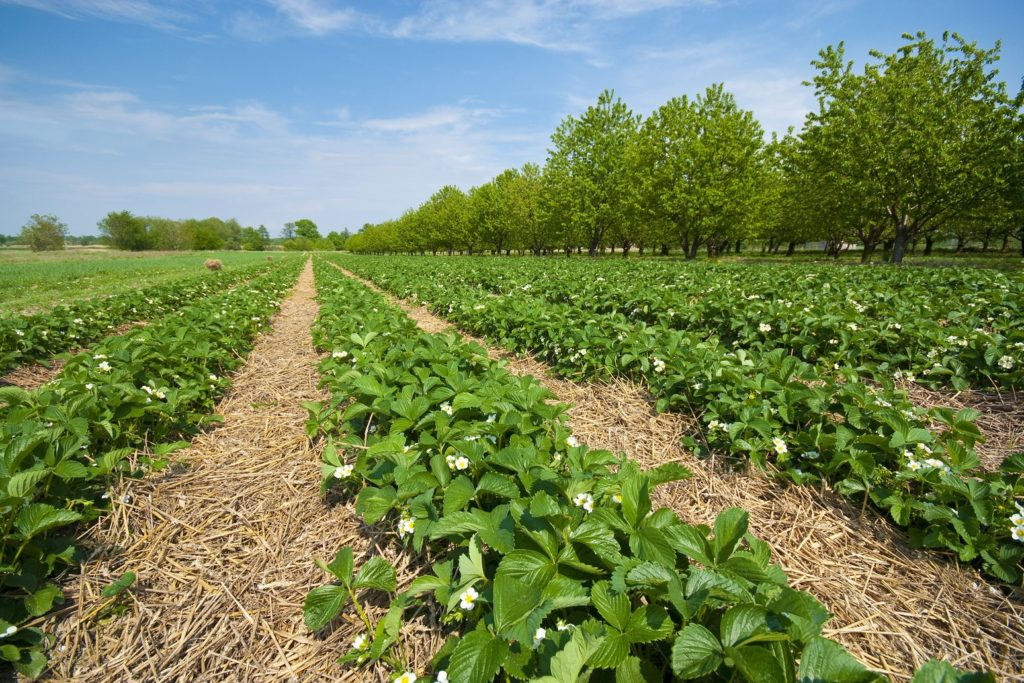 Erdbeerfeld mit Stroh