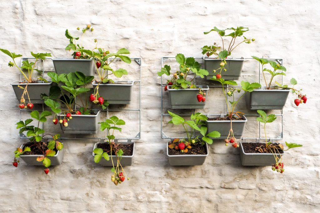 Hängende Erdbeeren im Balkonkasten