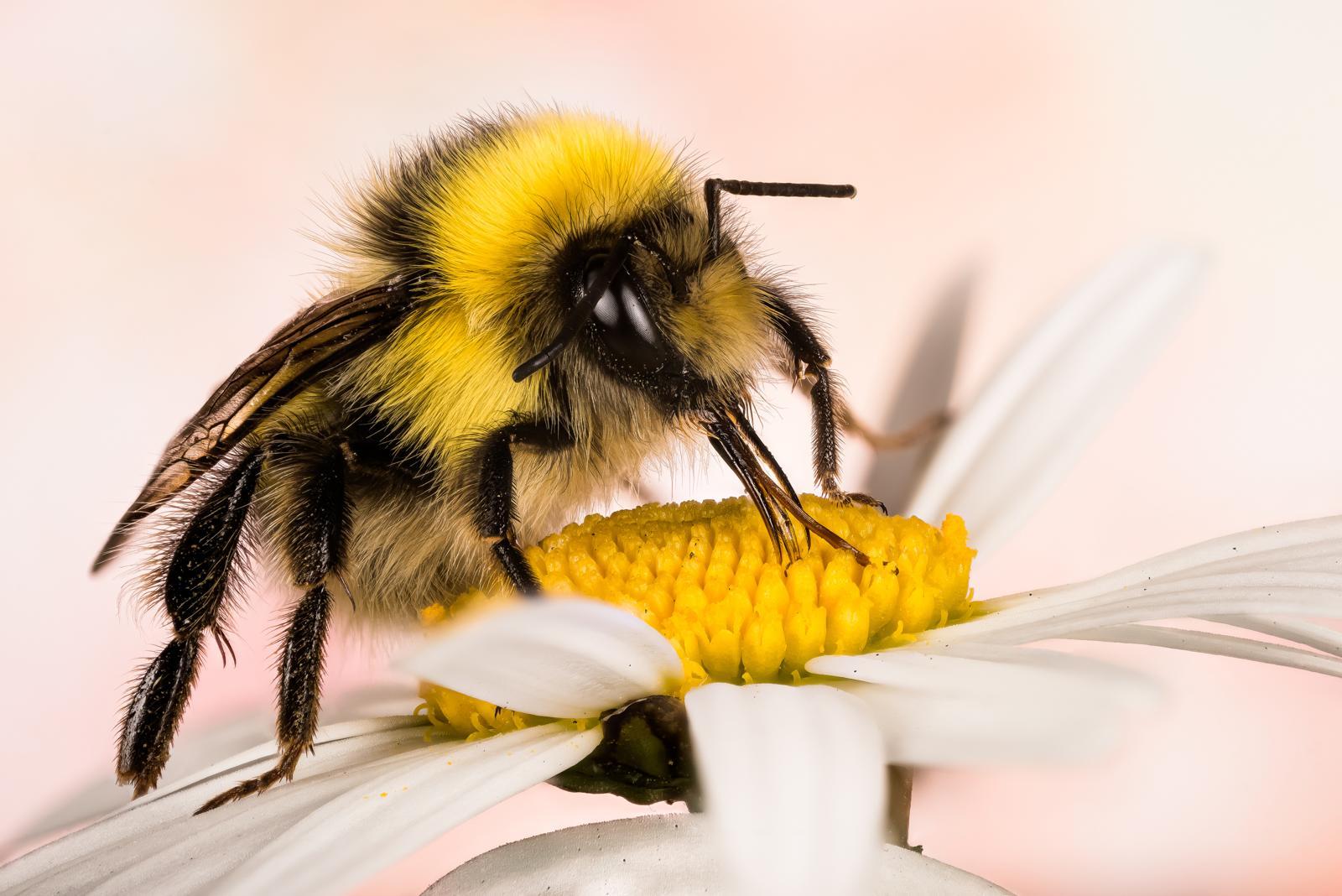 Machen Hummeln Honig? - Plantura