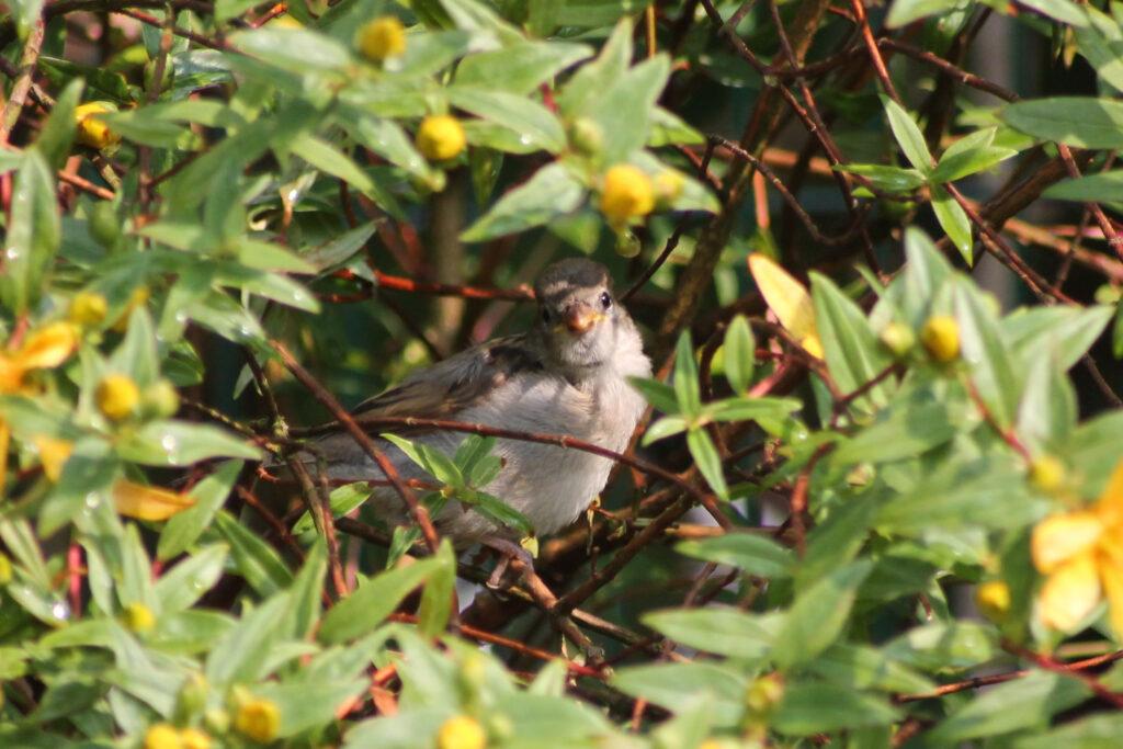 Vogel in einem blühenden Johanniskraut-Strauch