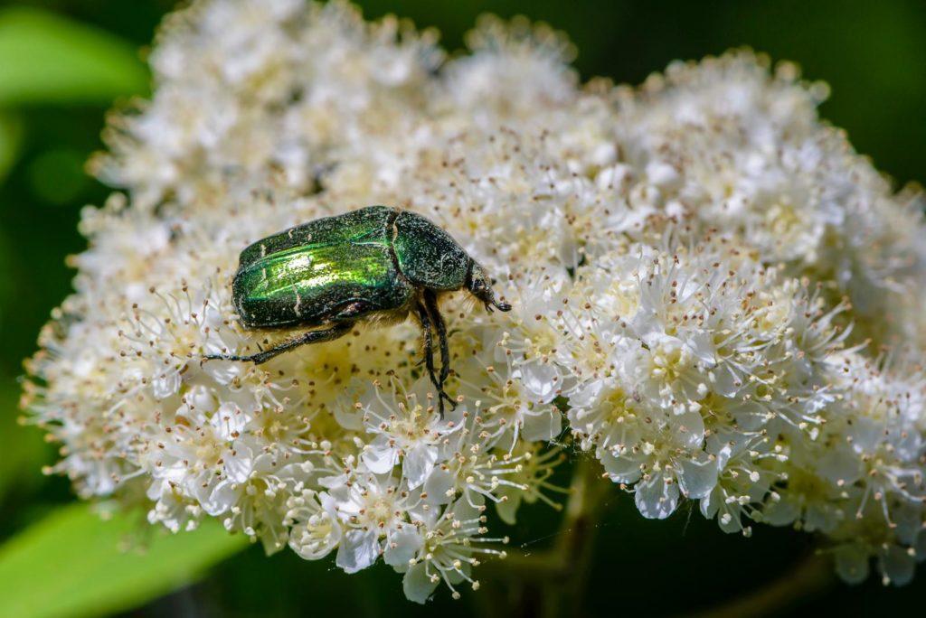 Grüner Käfer auf weißen Blüten