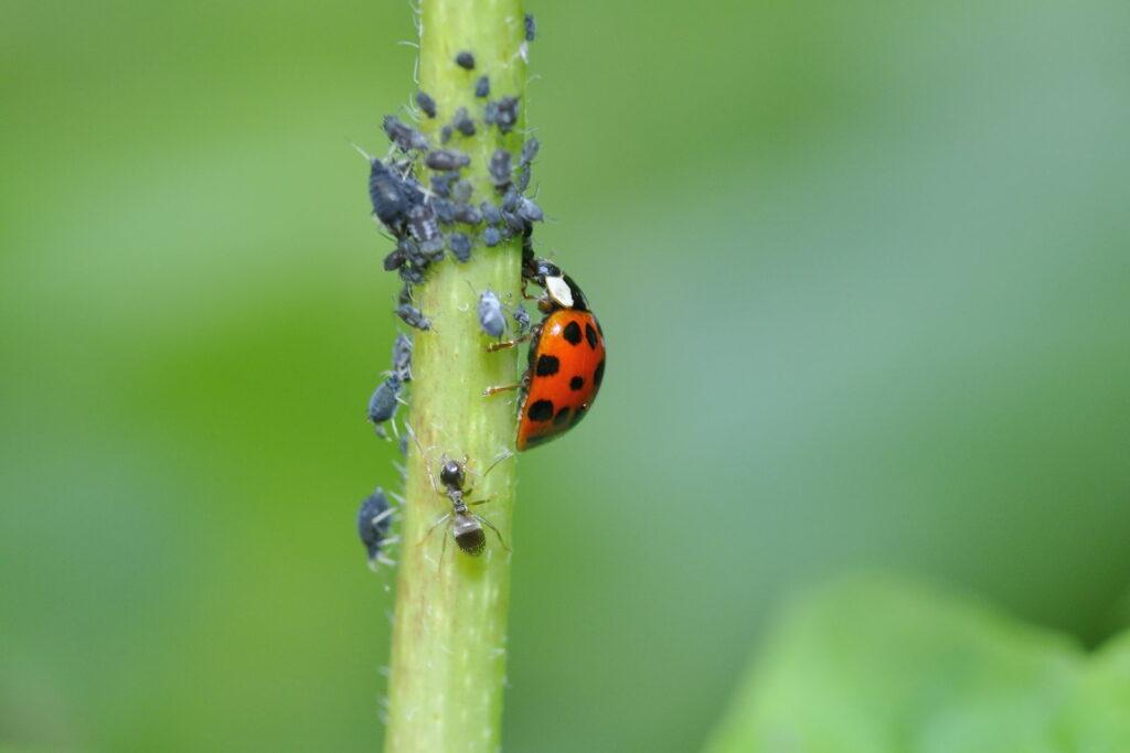 Marienkäfer und Blattläuse auf einer Pflanze