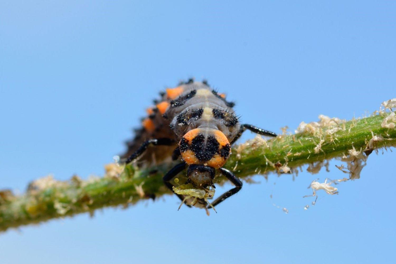 Marienkäfer-Larve auf einer Pflanze