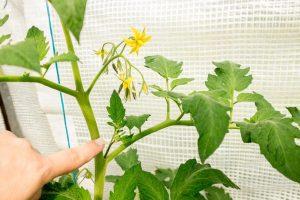 Nebentrieb An Einer Tomatenpflanze