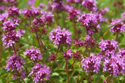 Quendel: Pflanzen, Schneiden & Co des wilden Thymians