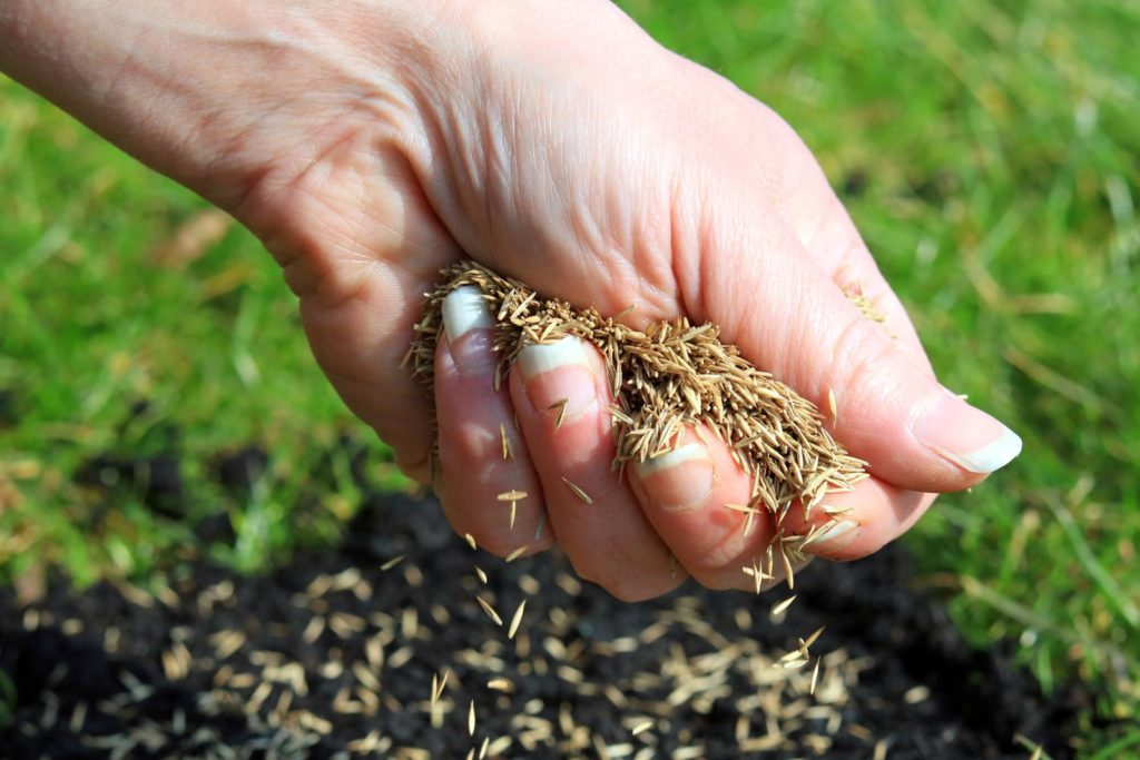 Rasensamen wird auf feuchte Erde gestreut