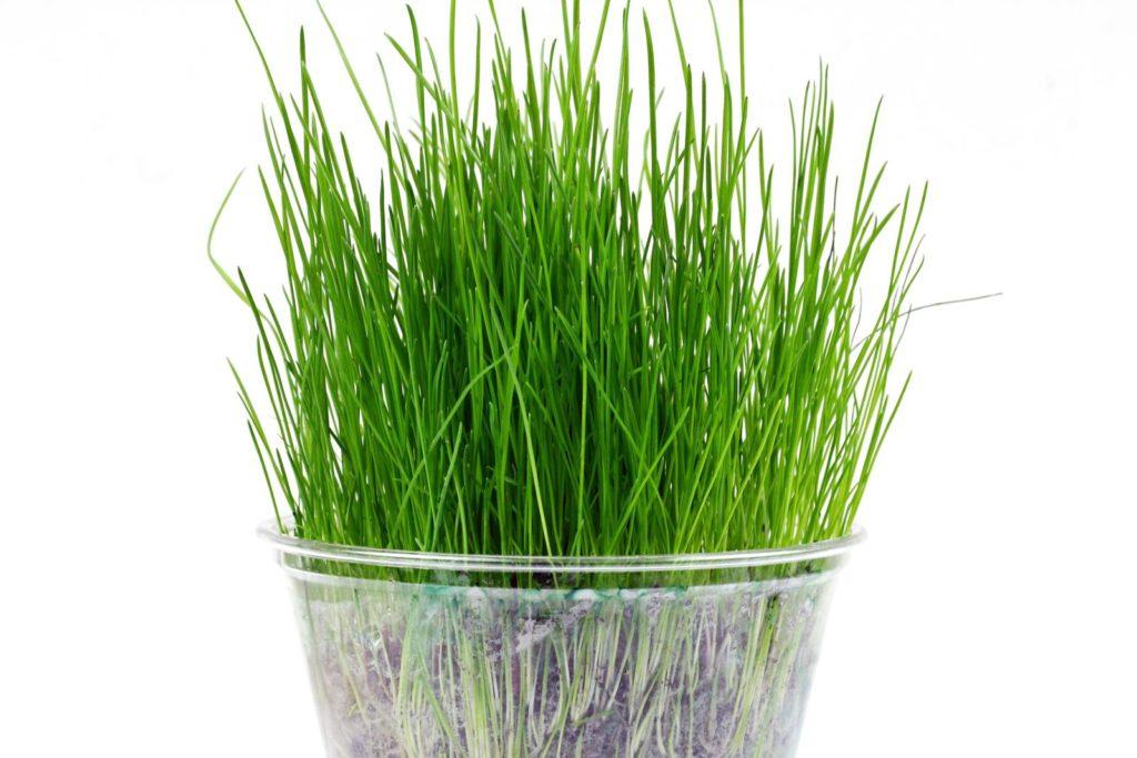 Rasen in kleinem Topf