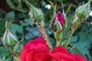 Blattläuse An Rose