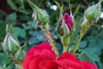 Blattläuse an Rosen: So bekämpft man die Läuse natürlich