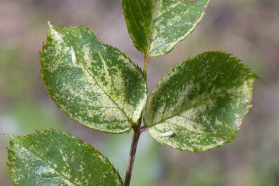 Rosenzikaden: Alles zur natürlichen Bekämpfung des Schädlings