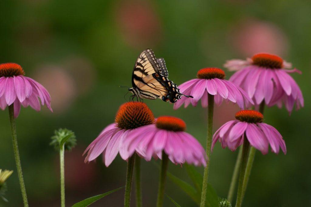 Schmetterling auf Sonnenhutblüte
