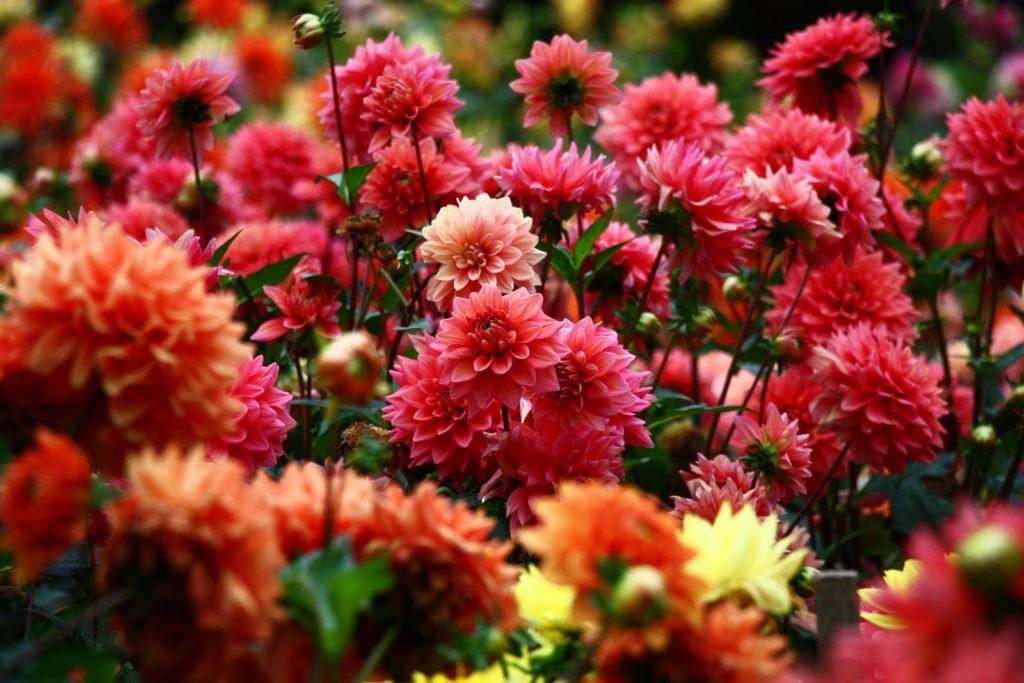 Blühende, rote Dahlien