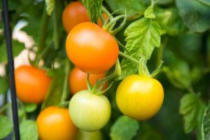 Früchte Einer Orangenen Tomate