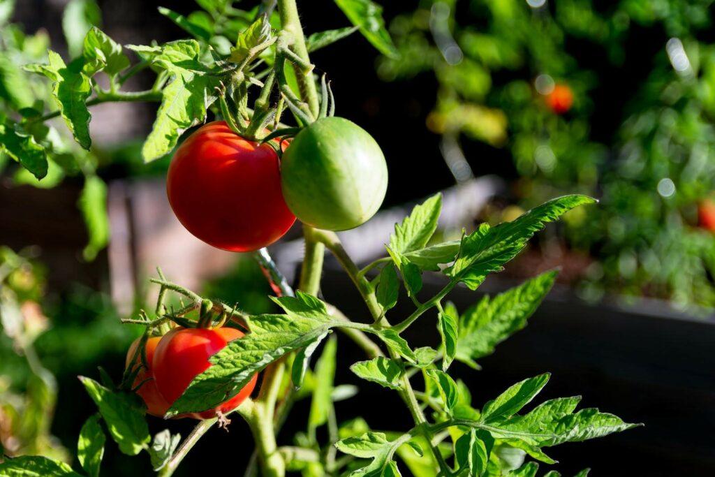 Berner Rose, reife Frucht an Pflanze