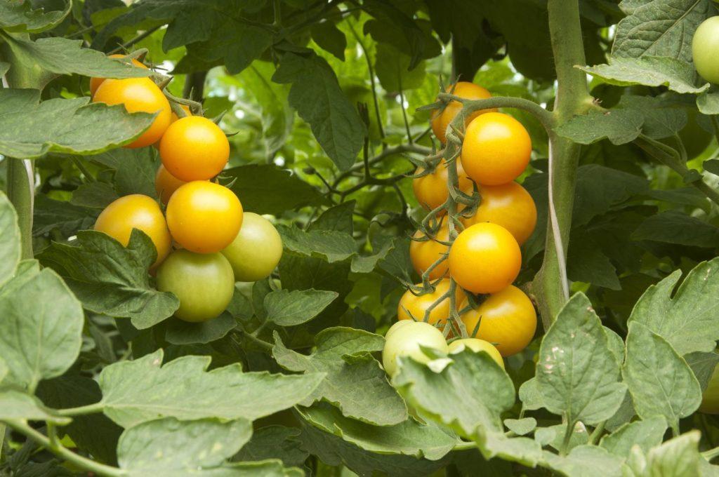 Tomate Goldene Königin an Pflanze