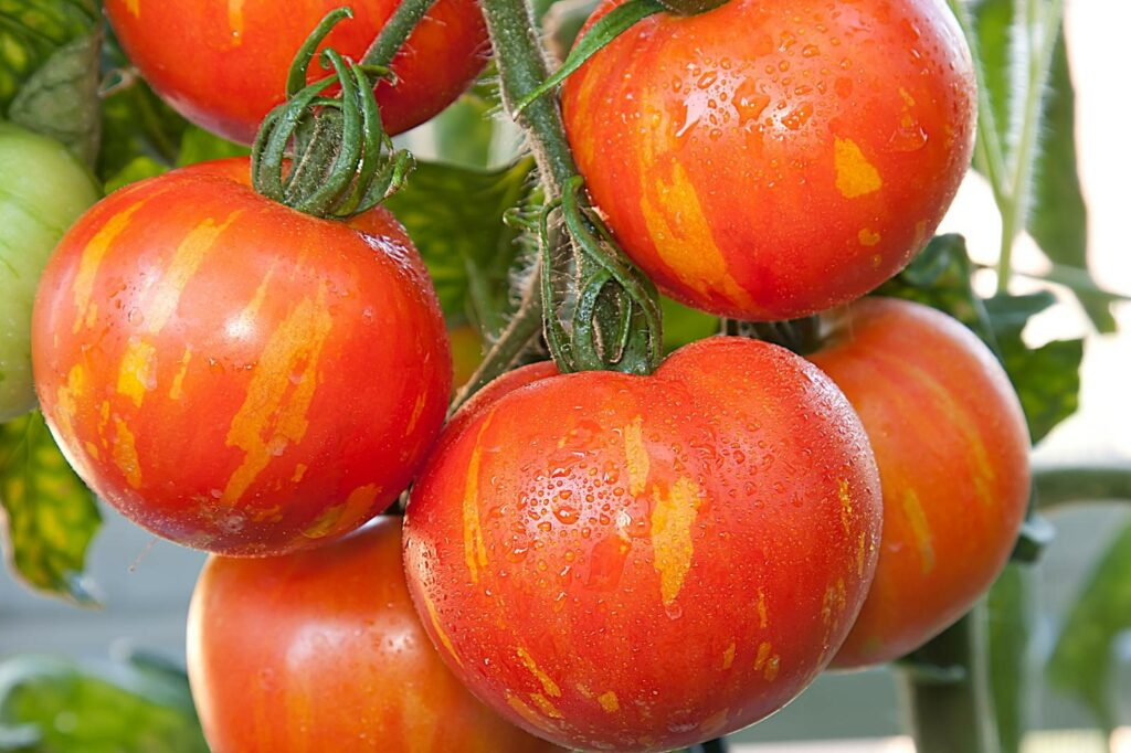 Gestreifte rote Tomaten