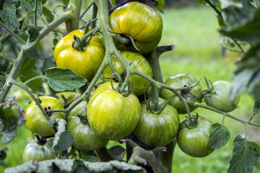 Grüne Tomaten an Pflanzen